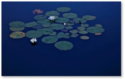 LA WATERLILIES